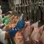 Abuso de los trabajadores en la industria avícola… Increíble!