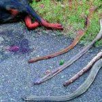 Perro héroe salva a una familia del ataque de unas cobras. Sorprendente