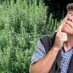 El romero es la hierba más poderosa en el tratamiento de la memoria